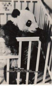 RP: BROOKFIELD , Illinois , 1930s ; Giant Panda Bear