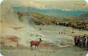 WY, Yellowstone National Park, Wyoming, Mammoth Hot Springs, Deer, Terraces