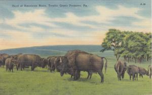 ALLENTOWN, Pennsylvania , 30-40s; Herd of American Bison, Trexler Game Preserve