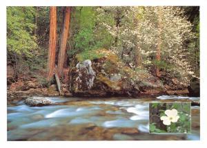 Yosemite National Park California, USA Postcard, Pacific Dogwood in Spring X34