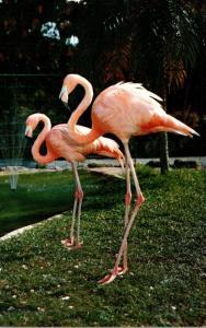 Birds Flamingos At Parrot Jungle Miami Florida 1967