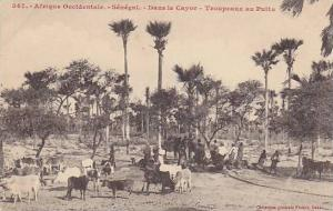 Afrique Occidentale, Oxen, Dans Le Cayor, Troupeaux Au Puits, Dakar, Senegal,...