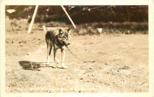 Alaska 1940s Sawyers Wild Grey Wolf Paxsons Road House RPPC real photo 326