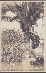 COCONUT TREE LOADED WITH FRUIT, taken by Weston Photo, LAKE WORTH FL,  1920s