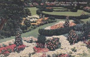 North Carolina Wilmington Azaleas In Full Bloom Orton Plantation