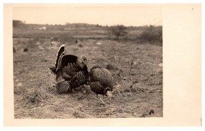 Wild Turkeys  Hen and a Tom