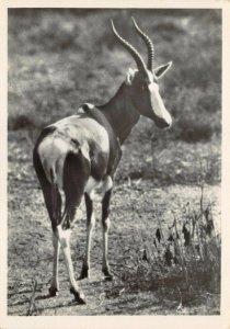 Vintage Postcard, No.11 Bontebuck, Bredasdorp, Cape Province, South Africa 32Y