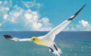 A Gannet in flight, At scenic Perce, Province of Quebec, Canada, 40-60s