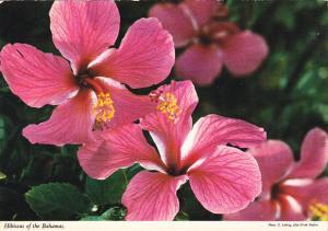 Bahamas Hibiscus Flowers