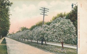 The Magnolia Trees on Oxford Street - Rochester NY, New York - pm 1909 - DB