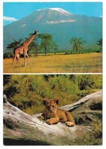 Giraffe Kilimanjaro Lion Cub East Africa Wildlife Postcard