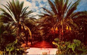 Arizona Typical Date Garden