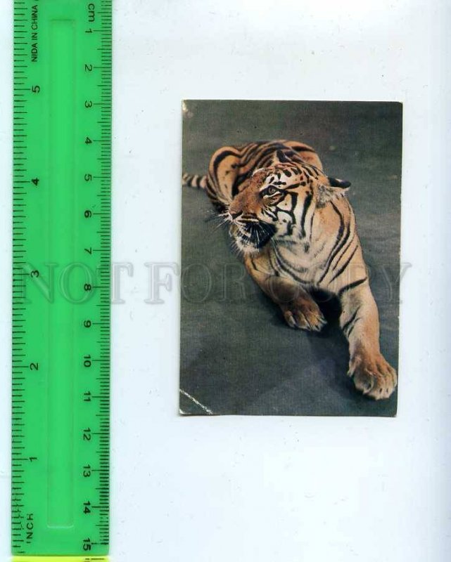 259168 USSR Circus Trained Tiger Pocket CALENDAR 1985 year