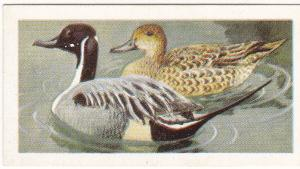 Trade Card Brooke Bond Tea Wild Birds in Britain 37 Pintail