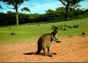 Australia Beautiful Kangaroo