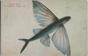 Catalina Island CA - FLYING FISH - early 1922 view of unusual sea creature