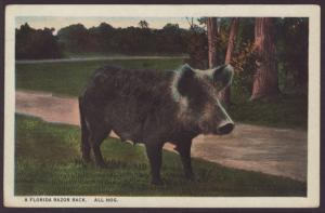 A Florida Razor Back,All Hog Postcard