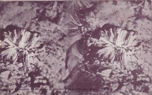 Gypsum Formation, Last Roses of Summer, Mammoth Cave, Kentucky, 00-10´s