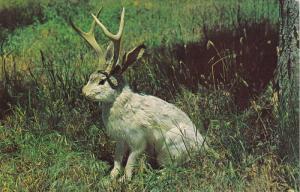 JACKALOPE of North America , 50-60s