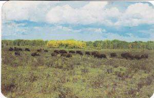 Buffalo Herd , Chicoutimi , Quebec , Canada , PU-1965