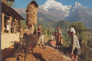 Ghandrung Nepal Villagers Farming Beating Barley Wheat Postcard
