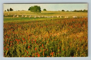 MS-Mississippi, Knee Deep In Clover, Cattle Grazing, Chrome Postcard