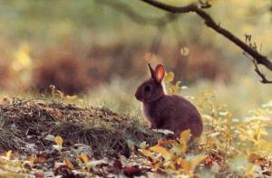Bunny Rabbit in Ireland