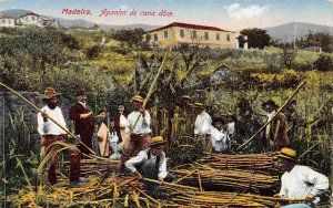 Harvesting Sugar Cane Workers Farming Madeira Portugal 1910c postcard
