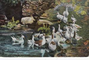 Ducks taking the waters , 1909 ; TUCK 6941