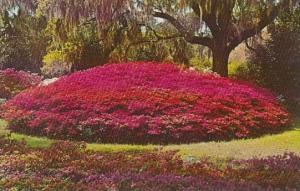 North Carolina Wilmington Azalea Mound Orton Plantation