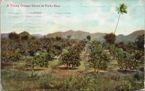 Puerto Rico Young Orange Grove Porto Rico c1919 Postcard F9