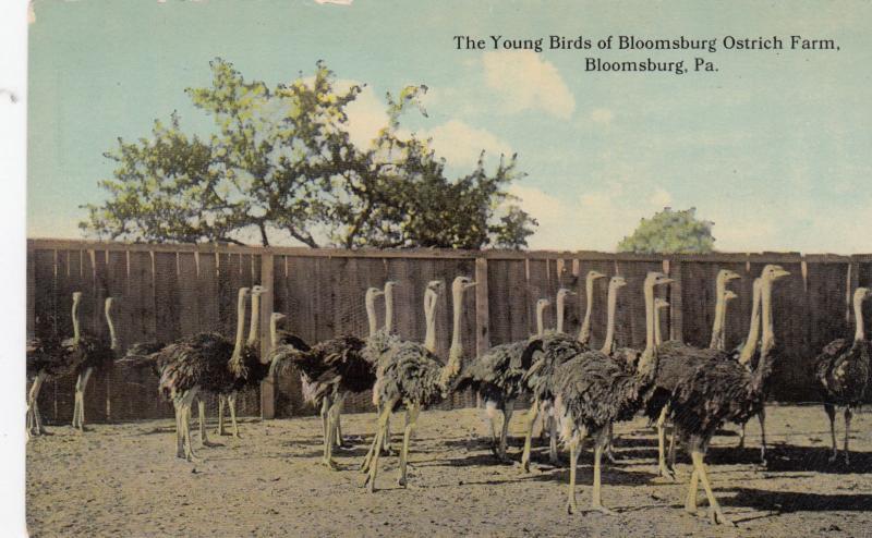 BLOOMSBURG , Pennsylvania, 00-10s ; Ostrich Farm