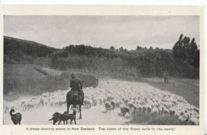 New Zealand Postcard - A Sheep Droving Scene - Ref 2541A