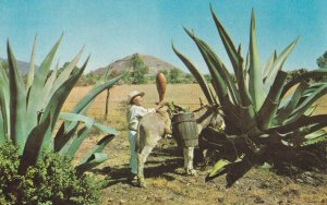 Extraction Of The Aguamiel Donkey Mexico Plantation Worker Postcard