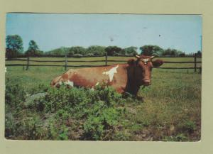 Guernsey Cow Postcard Dairy Cattle Farm Pastoral