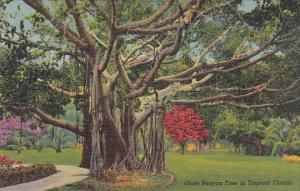 Gieant Banyan Tree In Tropical Florida Curteiclh