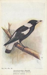 Australia , 1944 ; Black-Backed Magpie Bird