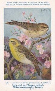 Serinus Canarius Fringillidae Finch Old WW2 Bird Rare Postcard