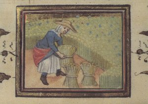 Harvesting Reeds Farming Flemish Belgium Medieval Book Postcard