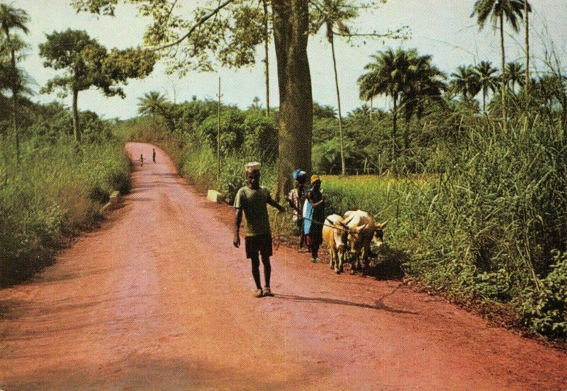 Vintage Postcard, Cattle on the Road to Yele, Sierra Leone, Africa 79W