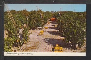 Orange Picking Time in FL Postcard