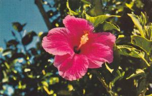 Red Hibiscus Flower , Guam , 40-60s