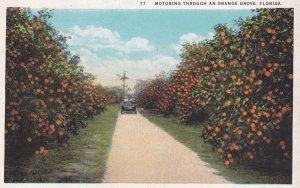 FLORIDA, 1900-1910s; Monitoring Through An Orange Grove