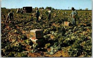 1960s SALT RIVER VALLEY, Arizona Agriculture Postcard Lettuce Harvest Time