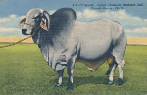 Grand Champion Brahman Bull Emperor Osceola County FL Florida pm 1953 - Linen