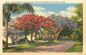 Coral Gables Florida~Royal Poinciana~Jacaranda Trees In Full Bloom~House~1940s