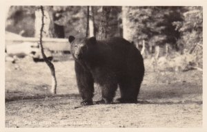 California Sequoia National Park Old Scarface Bear Real Photo