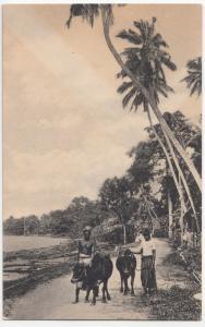 Sri Lanka / Ceylon; Bulls On The Road No 76 PPC By Plate , Unused, c 1920's