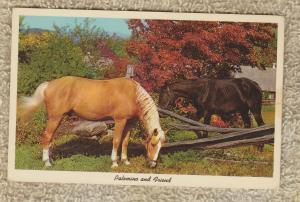 Palomino and Friend Horse Postcard Equine Farm Americana
