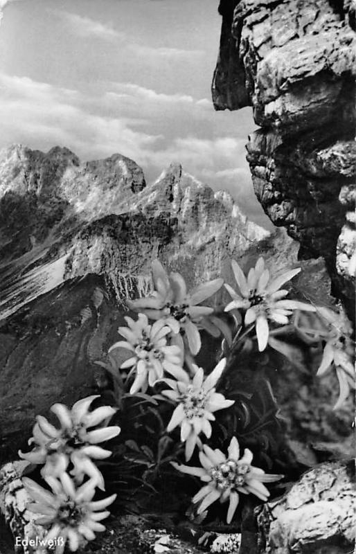 Edelweiss Blumen Berg Mountain Flowers / HipPostcard